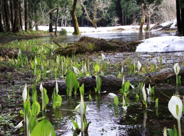 Habitat of Skunk Cabbage in Odo