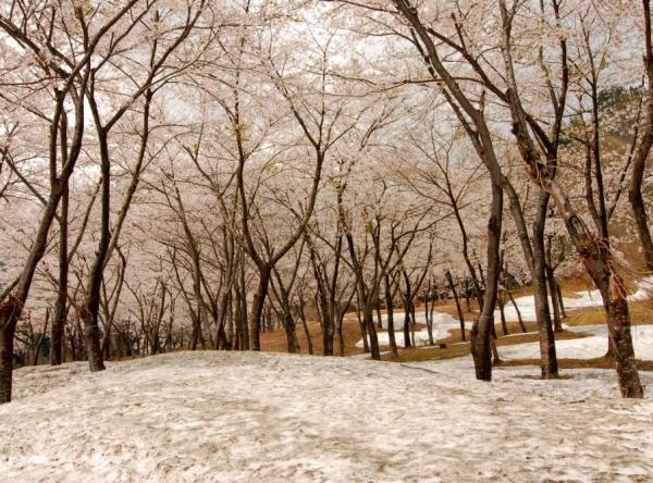 桜公園(梅花皮荘前)の残雪桜